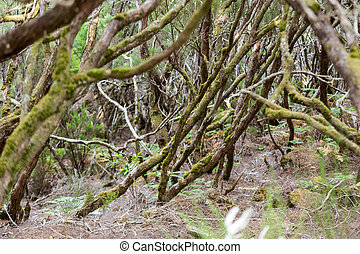 Tropical forest in the mountains on Madeira island ....