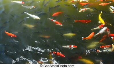 Koi and other fish are swimming