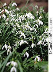 spring snowdrops flowers