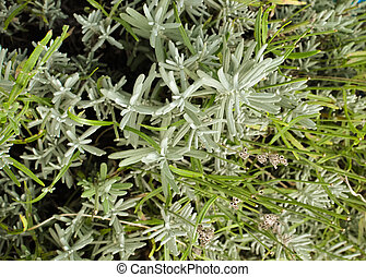 close up of fresh lavender plant without flowers as...