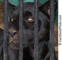 Panther behind bars - Strong black panther behind bars...