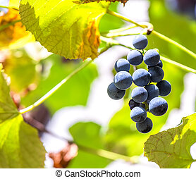 Bunch of grapes hanging in the vine