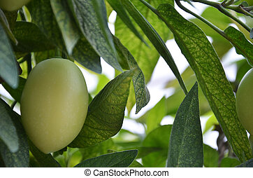 Pepino Melon found in the Cameron Highlands, Malaysia