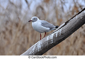 Sea Gull - A sea gull bird photographed in South Africa.