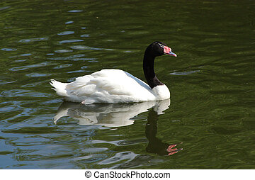 Black-necked Swan floating on the lake