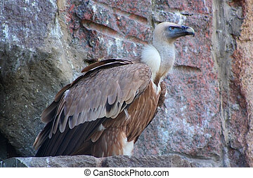 Himalayan vulture sits on a rock edge