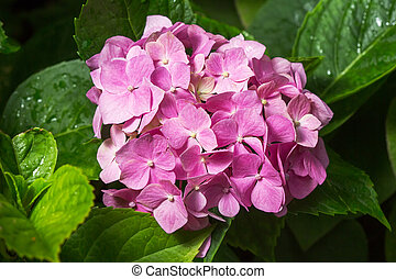 Purple Hydrangea flower (Hydrangea macrophylla) in a garden.