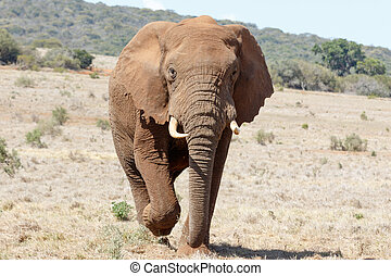 Coming Closer - African Bush Elephant - African Bush...