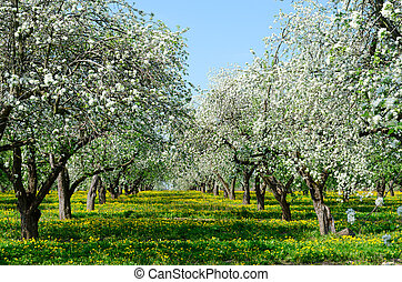 Blossoming apple orchard, May spring landscape