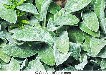 Stachys byzantina leaves (syn. S. lanata lamb's-ear or...