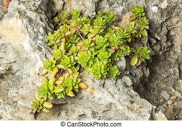 Green sedum brevifolium or sedum album on rocks