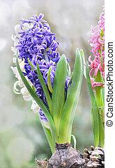 pretty hyacinths in foliage - pretty blue hyacinths in...