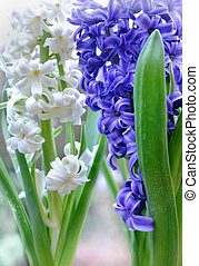 white and blue hyacinths - close on white and blue hyacinths...