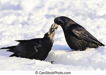 Rook on snow Corvus frugilegus