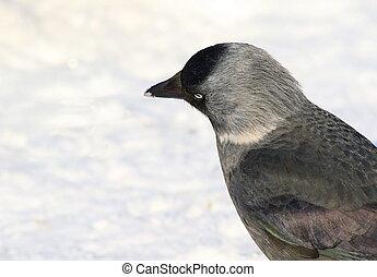Jackdaw on snow, Corvus monedula