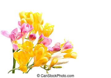 Bright freesias over the white background