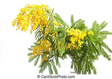 ramo, mimosa