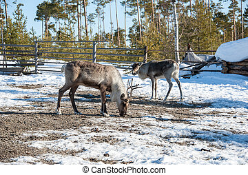 Reindeer with big horns in the park during winter period