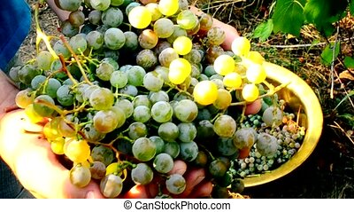 Human hands gathering grapes - Grape harvest. Closeup of...