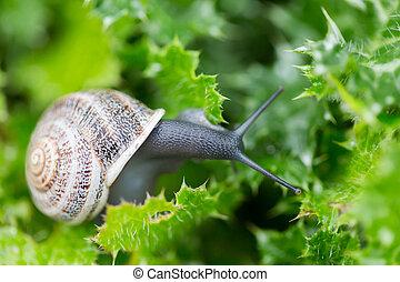 Garden Snail - Helix aspersa - Garden Snail (Helix aspersa)...