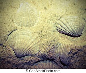 fossilized shells embedded in the rock for millions of years