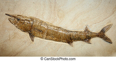 big fish fossil stuck in the rock for millions of years -...