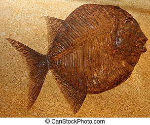 big extinct fish fossil stuck in the rocks for millions of...