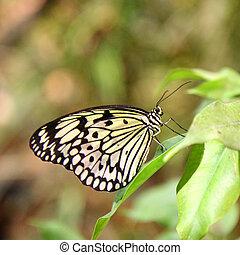 Paper Kite Butterfly - Paper Kite (Idea leuconoe) butterfly...