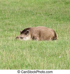 Tapir lying on grass