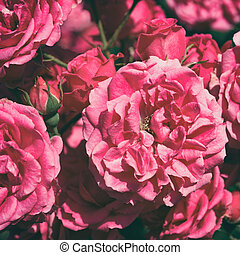 Pink roses in garden in retro style