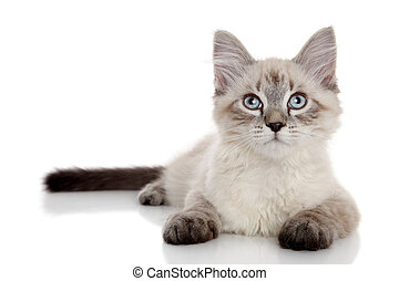 color-point, siberiano, gatito