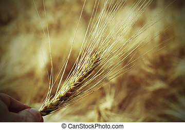 hand of farmer holding the ear of wheat in the middle of the...