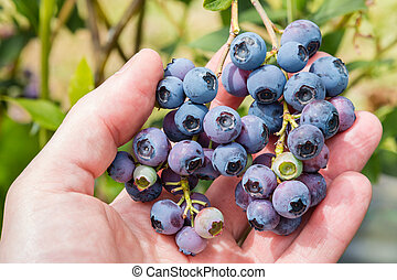hand picking ripe organic blueberries