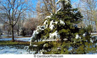 Christmas tree with snow - Beautiful snow-covered forest...