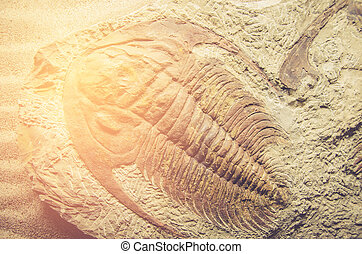 fossil trilobite  on stone with sun light process in vintage