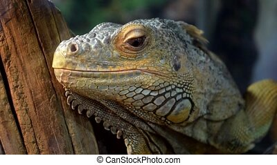 Close-up of iguana lizard in the cage