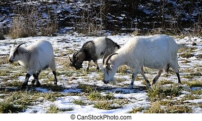 Group of goats eating grass in winter in a sunny day
