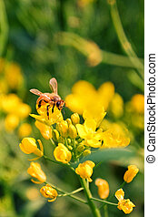 Working bee on rapeseed flowers
