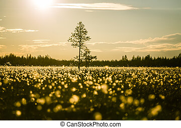 A beautiful bog landscape with cottongrass in sunset