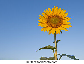 Yellow sunflower surrounded by sky - Bright yellow sunflower...