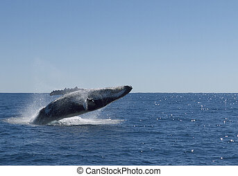 Humpback whale jumps out of the sea
