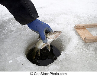 Walleye caught while ice fishing pulled from the hole