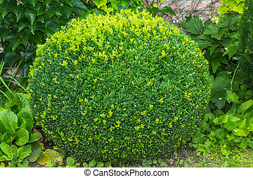Buxus sempervirens. - Buxus sempervirens or european box or...