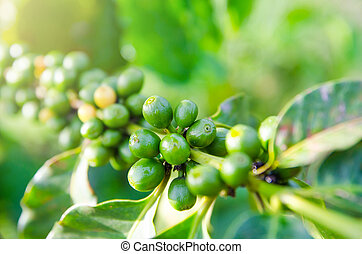 closeup of coffee berries growing on branches