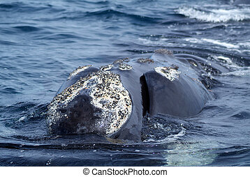 Austral Whale - Austral whale tail in Pensinsula Valdes...