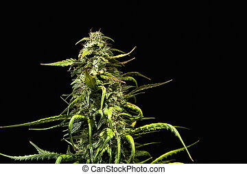 Mature cannabis plant - Big main top bud of mature female...