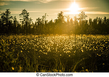 A beautiful bog landscape with cottongrass in sunset with a...
