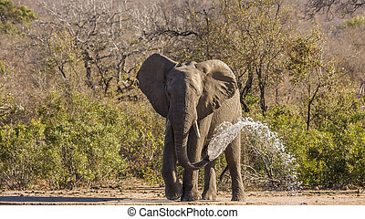 african bush elephant drinking in the riverbank and trowing watter, Kruger, South Africa