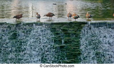 Birds and water. Small waterfall in motion. Nature reserve...