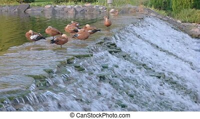 Water and birds. Motion of a small waterfall. Summer in...